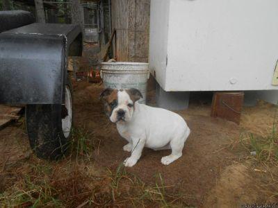 English/Olde English female bulldog puppy