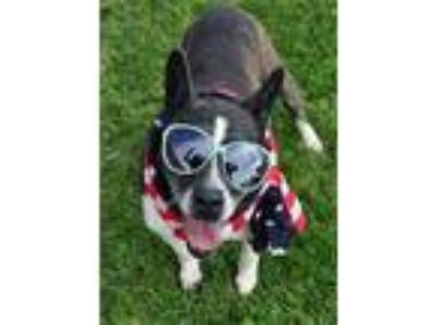 Adopt Tiger Lilly the Sweet a Boston Terrier, Cattle Dog