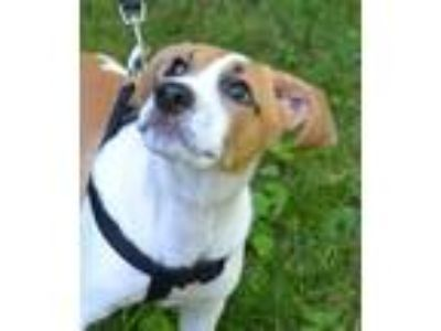 Adopt Ernie a Labrador Retriever / Hound (Unknown Type) / Mixed dog in White