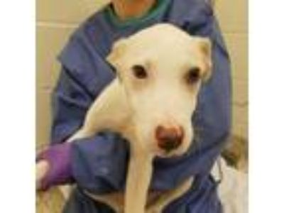 Adopt General a White - with Tan, Yellow or Fawn Labrador Retriever dog in