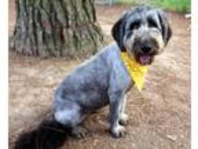 Adopt Soba a Gray/Silver/Salt & Pepper - with White Poodle (Standard) / Mixed