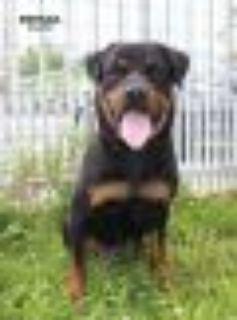 Brenda Rottweiler Dog