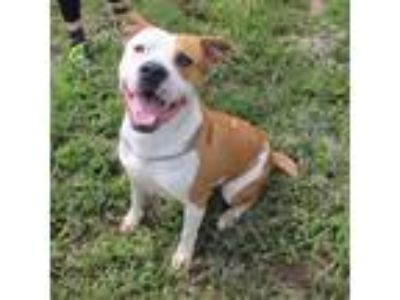 Adopt Theo a Tan/Yellow/Fawn - with White Pit Bull Terrier / Mixed dog in