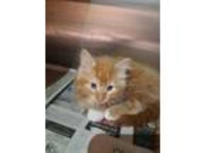 Adopt KIT-2 a Orange or Red Domestic Longhair / Domestic Shorthair / Mixed cat