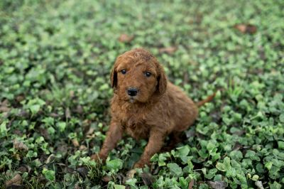 Goldendoodle PUPPY FOR SALE ADN-98852 - Goldendoodle Puppies