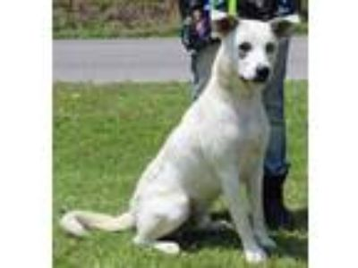 Adopt Two-Tone 30828 a White Husky / Labrador Retriever / Mixed dog in