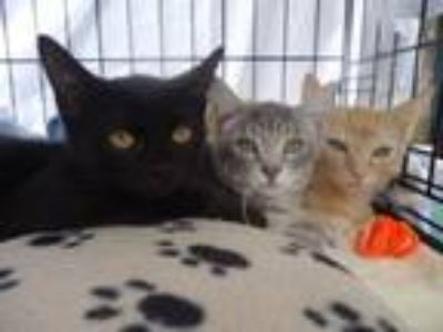 Adopt Marla, Morgan, and Darla a Domestic Short Hair