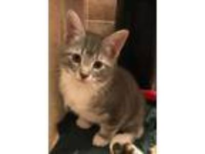 Adopt Socks a Gray or Blue Domestic Shorthair / Domestic Shorthair / Mixed cat