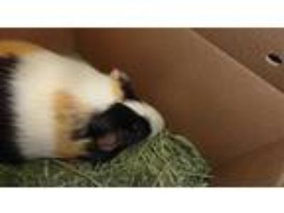 Adopt CLOVER a Black Guinea Pig / Mixed small animal in Denver, CO (25300285)