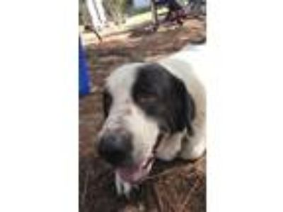 Adopt Nero a Black - with White Great Pyrenees / Border Collie / Mixed dog in