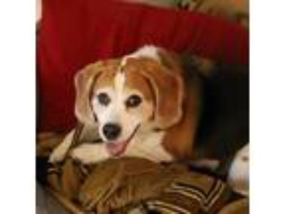 Adopt Cooper a Brown/Chocolate Beagle dog in Wilton, NY (25596877)