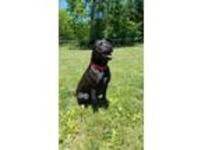 Adopt Doodle a Black American Pit Bull Terrier / Chow Chow / Mixed dog in