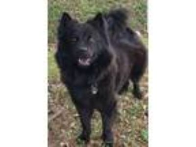 Adopt Anastasia a Black Chow Chow / Mixed dog in Houston, TX (24688721)