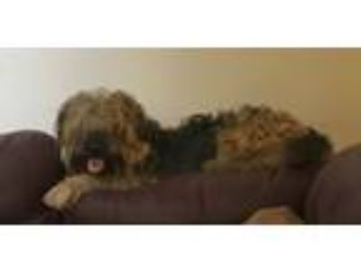 Adopt Fozzy a Airedale Terrier, Poodle