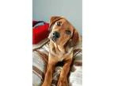 Adopt Wilbur a Tan/Yellow/Fawn Hound (Unknown Type) / Mixed dog in Fort Collins