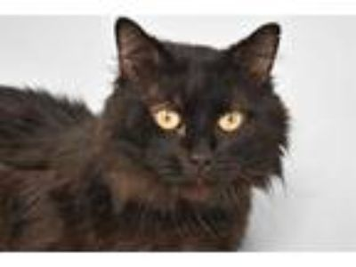 Adopt RALFIE a All Black Domestic Mediumhair / Mixed (medium coat) cat in