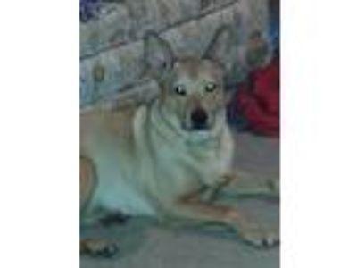 Adopt Grizz a Tan/Yellow/Fawn German Shepherd Dog / Mixed dog in Eagan