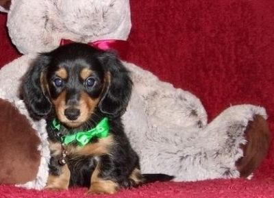 Gifted Miniature Dachshund Puppies