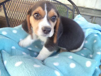 Beagle PUPPY FOR SALE ADN-88964 - Rubys Male Classic puppy beagle