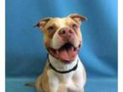 Adopt Basil a Tan/Yellow/Fawn American Pit Bull Terrier / Mixed dog in St.