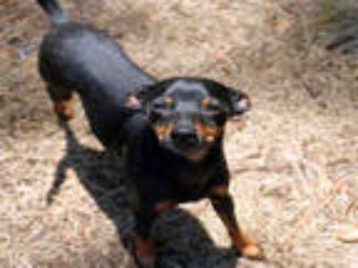 Adopt KION a Black - with Tan, Yellow or Fawn Miniature Pinscher / Mixed dog in