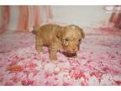 Big Red Gorgeous Red Male CKC Toy Poodle
