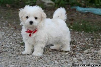 FCGHRT MALTESE PUPPIES AVAILABLE FOR SALE Text: (4O4) 692 XX 3714