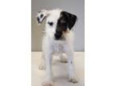 Adopt Potsie a Wirehaired Terrier