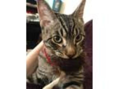 Adopt Mikey a Spotted Tabby/Leopard Spotted American Shorthair / Mixed cat in