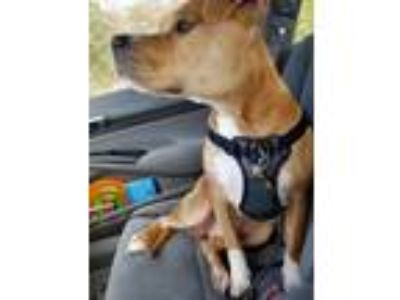 Adopt Frank a Tan/Yellow/Fawn - with White American Pit Bull Terrier / Mixed dog