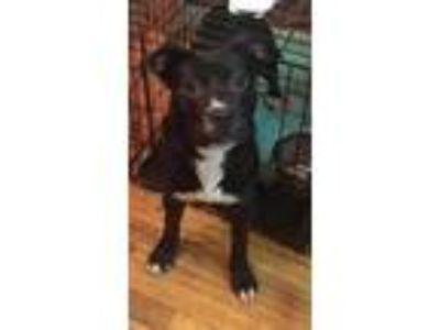 Adopt Dixie VB 0215 a Black Labrador Retriever / American Pit Bull Terrier /