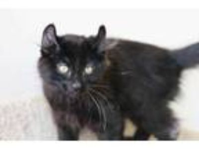 Adopt Yin a All Black American Curl / Domestic Shorthair / Mixed cat in Boise