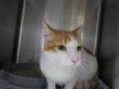 Adopt JOJO a White (Mostly) Domestic Shorthair / Mixed (short coat) cat in