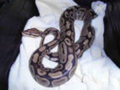 Adopt JUSTIN a Snake / Mixed reptile, amphibian, and/or fish in Chatsworth