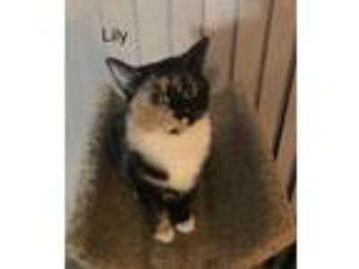 Adopt Lily a Calico or Dilute Calico Domestic Shorthair cat in Lawrenceville