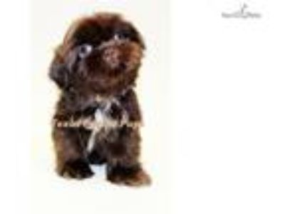 Chocolate ShihTzu Green Eyes. Houston Texas
