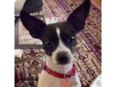 Adopt Dixie (FL) a White - with Black Rat Terrier / Mixed dog in Gainesville