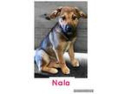 Adopt Nala a Black - with Tan, Yellow or Fawn German Shepherd Dog / Mixed dog in