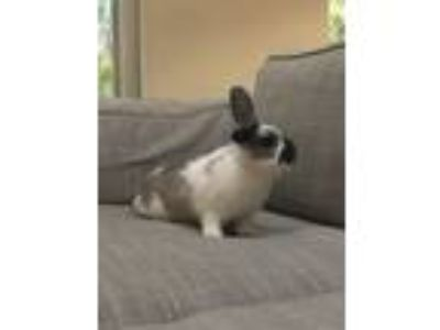 Adopt Mona a White Lop, Holland / Mixed (short coat) rabbit in West Palm Beach
