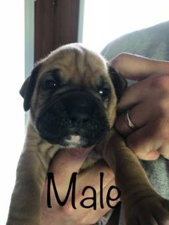 Boxer PUPPY FOR SALE ADN-82880 - Three Cute Little Boxer Boys