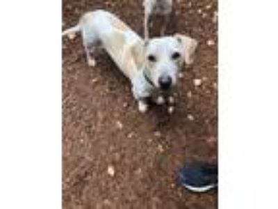 Adopt Sheldon a Tan/Yellow/Fawn Dachshund / Mixed dog in Cumming, GA (24338627)