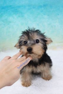 Yorkshire Terrier - Jolly - Male