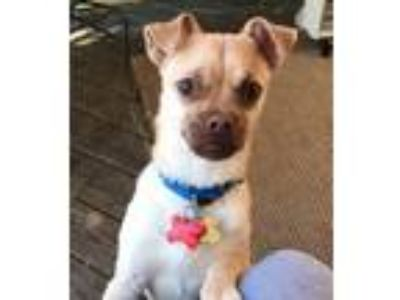 Adopt Shiloh a Pug / Mixed dog in Potomac, MD (25757909)