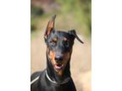 Adopt Gunner a Black - with Tan, Yellow or Fawn Doberman Pinscher / Mixed dog in