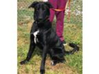 Adopt Rocky a Labrador Retriever / Shepherd (Unknown Type) / Mixed dog in