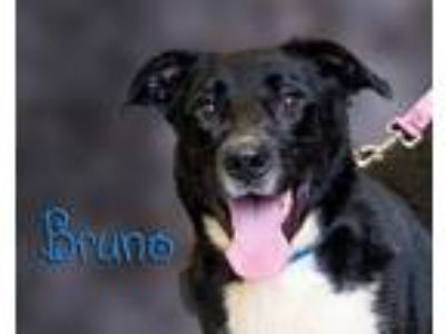 Adopt Bruno a Black - with White Shepherd (Unknown Type) / Mixed dog in