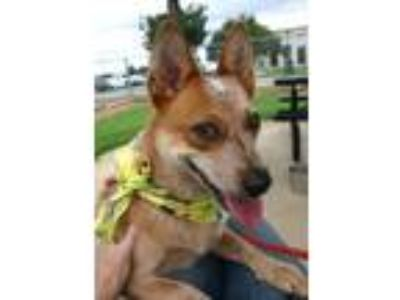 Adopt Ruby (See Memo) a Australian Cattle Dog / Blue Heeler, Mixed Breed