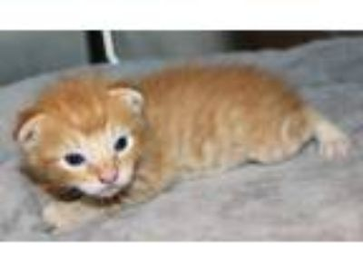 Adopt Jelly a Orange or Red Domestic Shorthair / Domestic Shorthair / Mixed cat