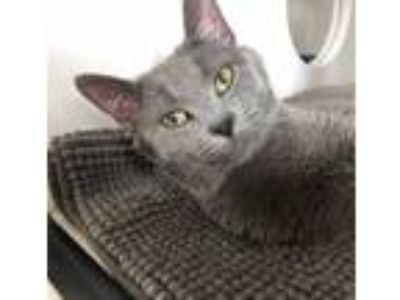 Adopt John a Domestic Short Hair