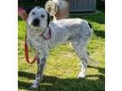 Adopt Sterling a Australian Cattle Dog / Blue Heeler, Great Pyrenees
